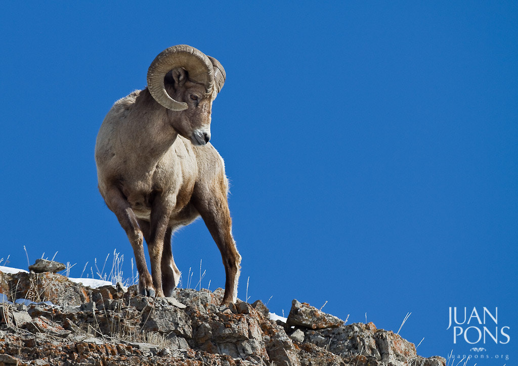 Photograph Big Horn Sheep, Yellowstone NP, WY by Juan Pons on 500px
