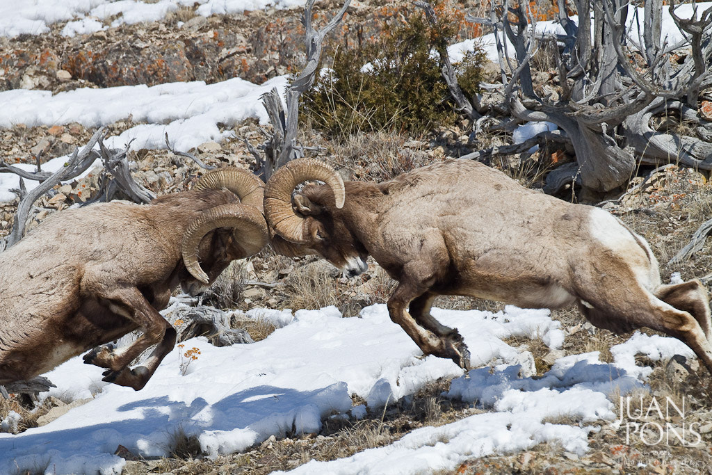 Photograph Fighting Big Horn Sheep, Yellowstone NP, WY by Juan Pons on 500px