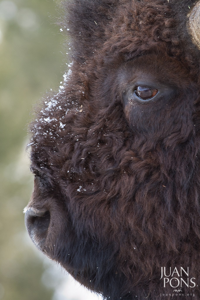 Photograph Bison Profile, Yellowstone NP, WY by Juan Pons on 500px