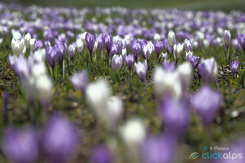 Photograph The hard life of Crocus by Roberto Sysa Moiola on 500px