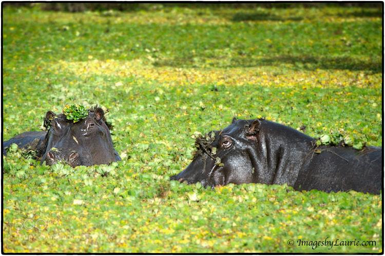 Hippos (Maasai Mara, Kenya)
