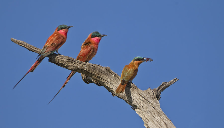 Mum and Dad look on as their young one brings home some dinner.( Carmine Beeeaters) Taken in Kwara concession, Botswanna