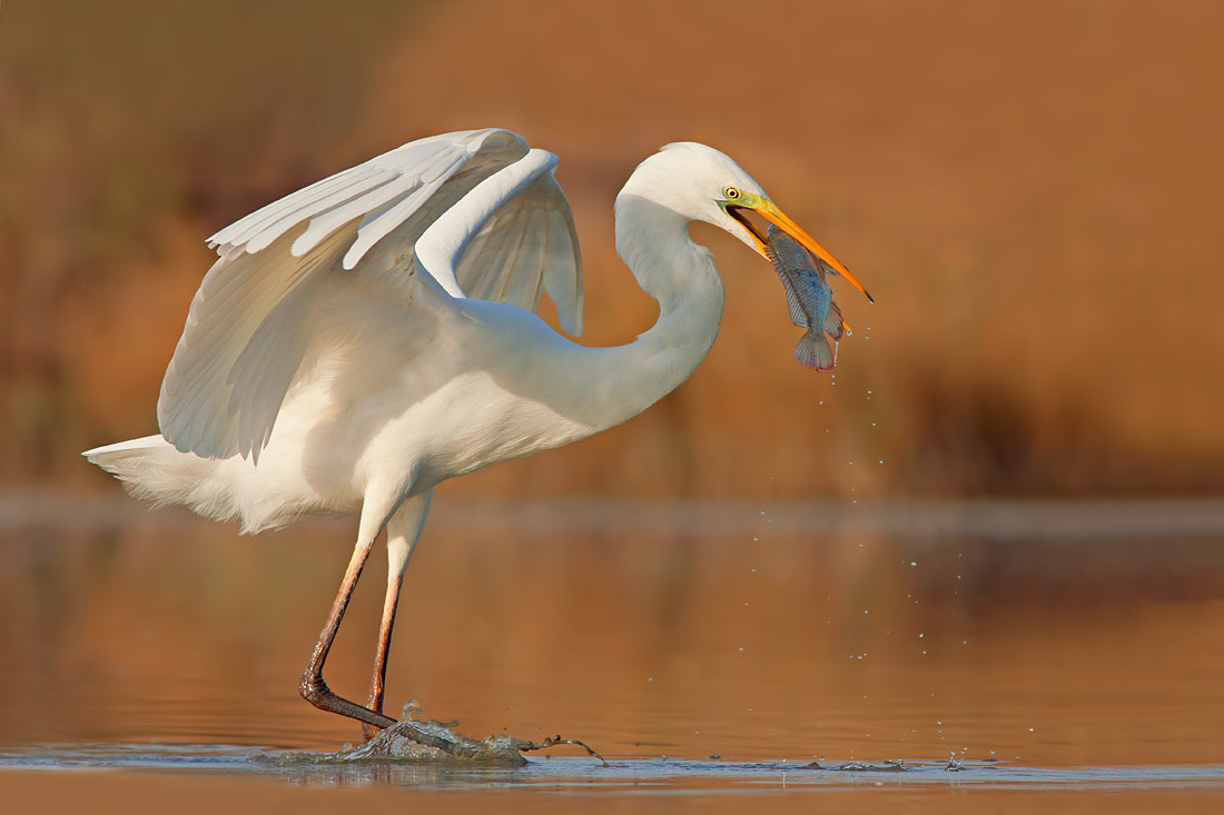 Photograph Great Egret  by Roy Avraham on 500px