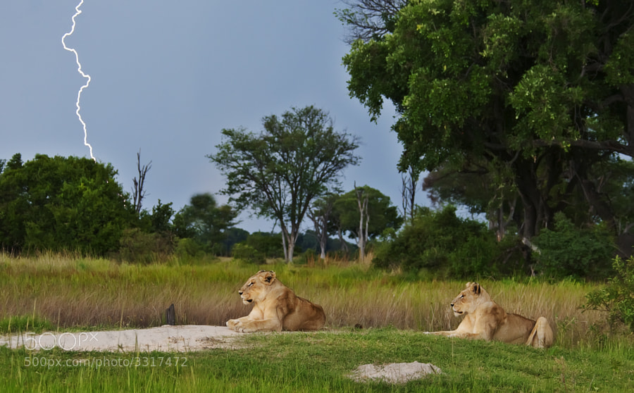 Two Lionesses hunker down, to await the afteron storm, taken in Kwara concession, Botswana. It did rain, but we got under cover in time.