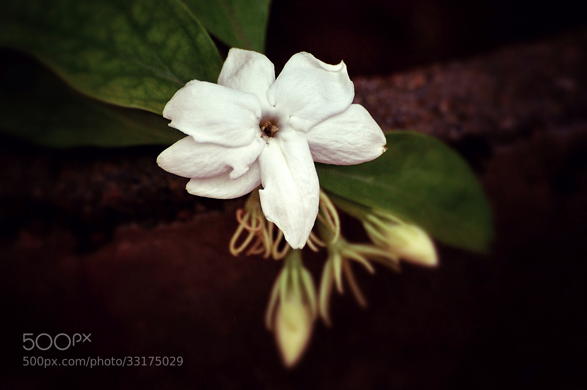 Photograph Jasmine by Ravi S R on 500px