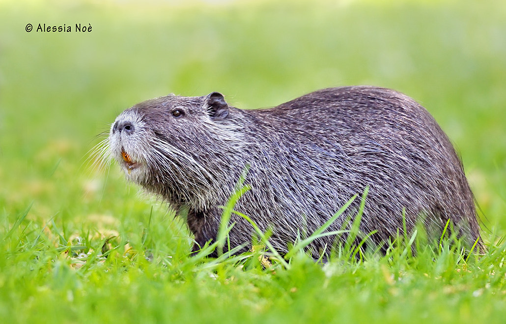 Photograph Nutria by Alessia Noè on 500px