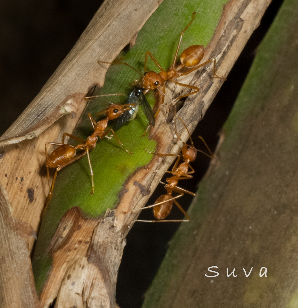 Photograph Soldier Ants by Suhas Shelke on 500px