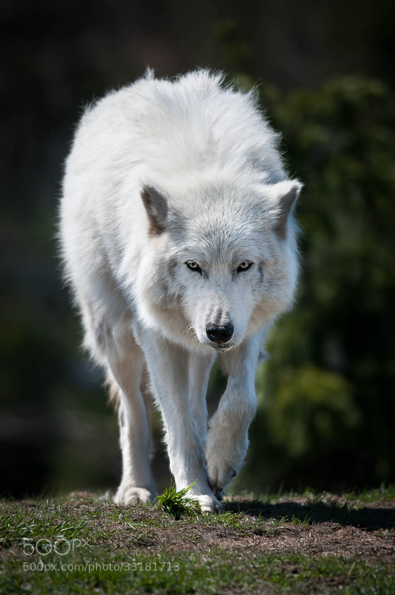 Photograph Arctic Wolf by Justin Lo on 500px