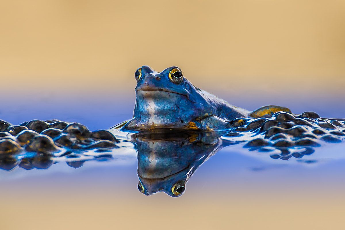 Photograph Blue moor frog by Karl Genser on 500px