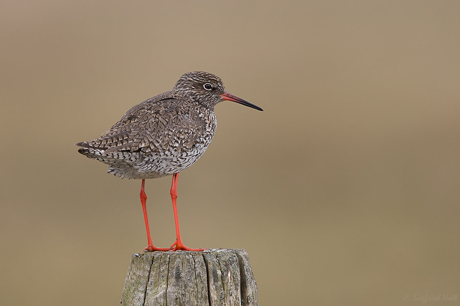 Photograph Common Redshank by Siegfried Noët on 500px