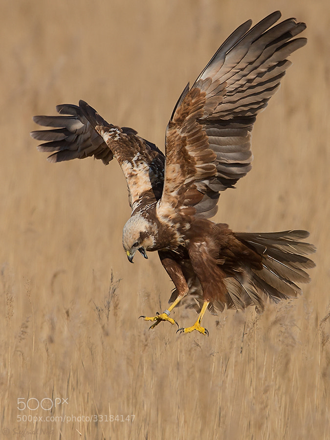 Photograph  Western Marsh Harrier - Female I by Siegfried Noët on 500px