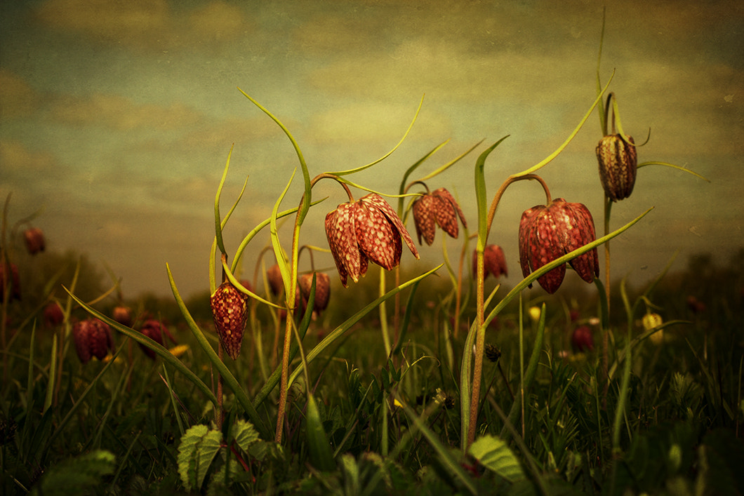 Photograph Fritillaries 2013 by Audran Gosling on 500px