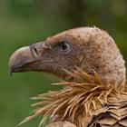 Griffon Vulture, Buitre Leonado Catalan Pyrenees, Spain