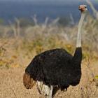 Ostrich, Avestruz Kruger National Park, South Africa