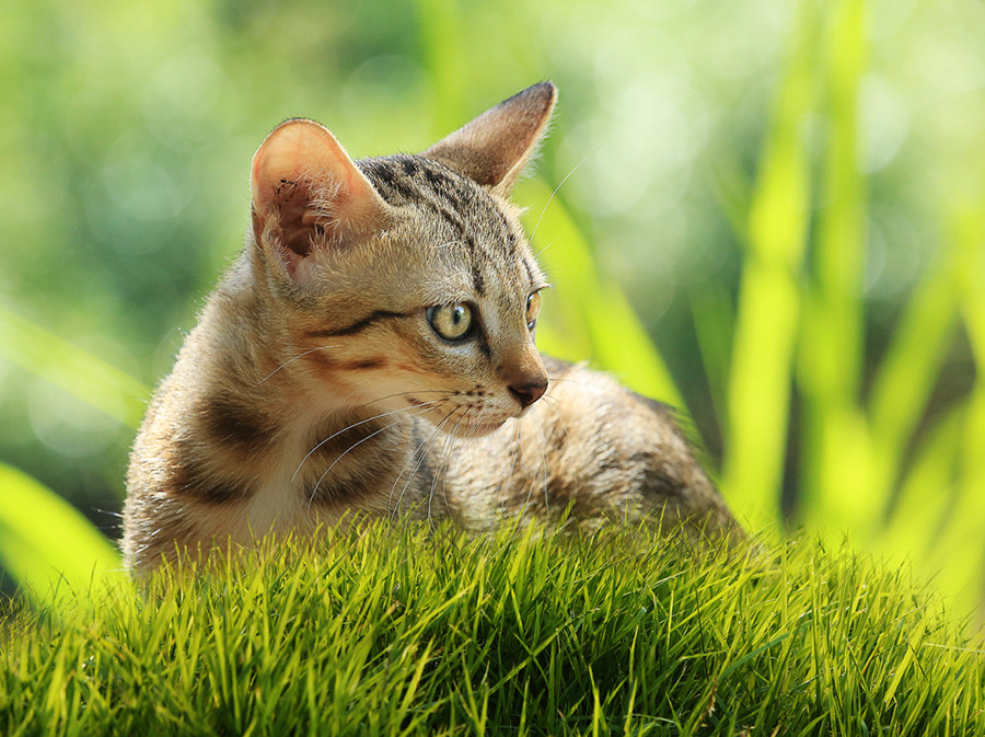 Photograph Kitten on green grass by Prachit Punyapor on 500px