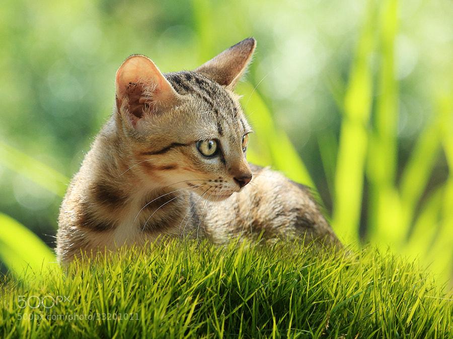 Photograph Kitten on green grass by Prachit Punyapor on 500px