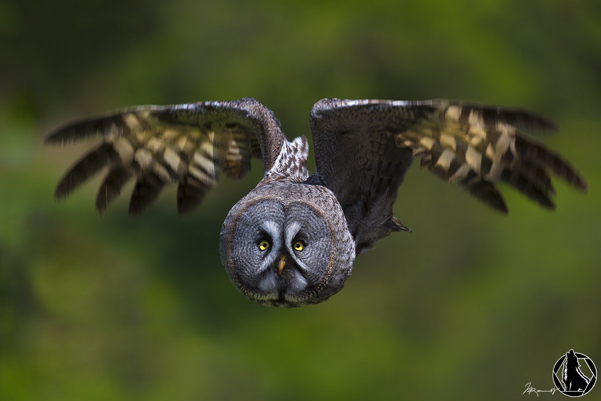 Photograph Great Grey Owl by Nicholas Roemmelt on 500px