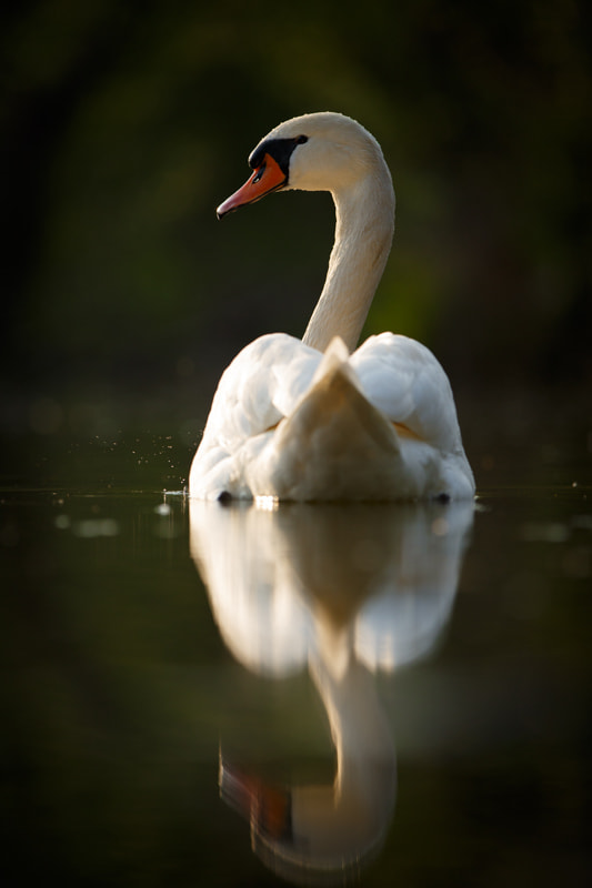 Photograph Swan on a evening pond by Ales Gola on 500px