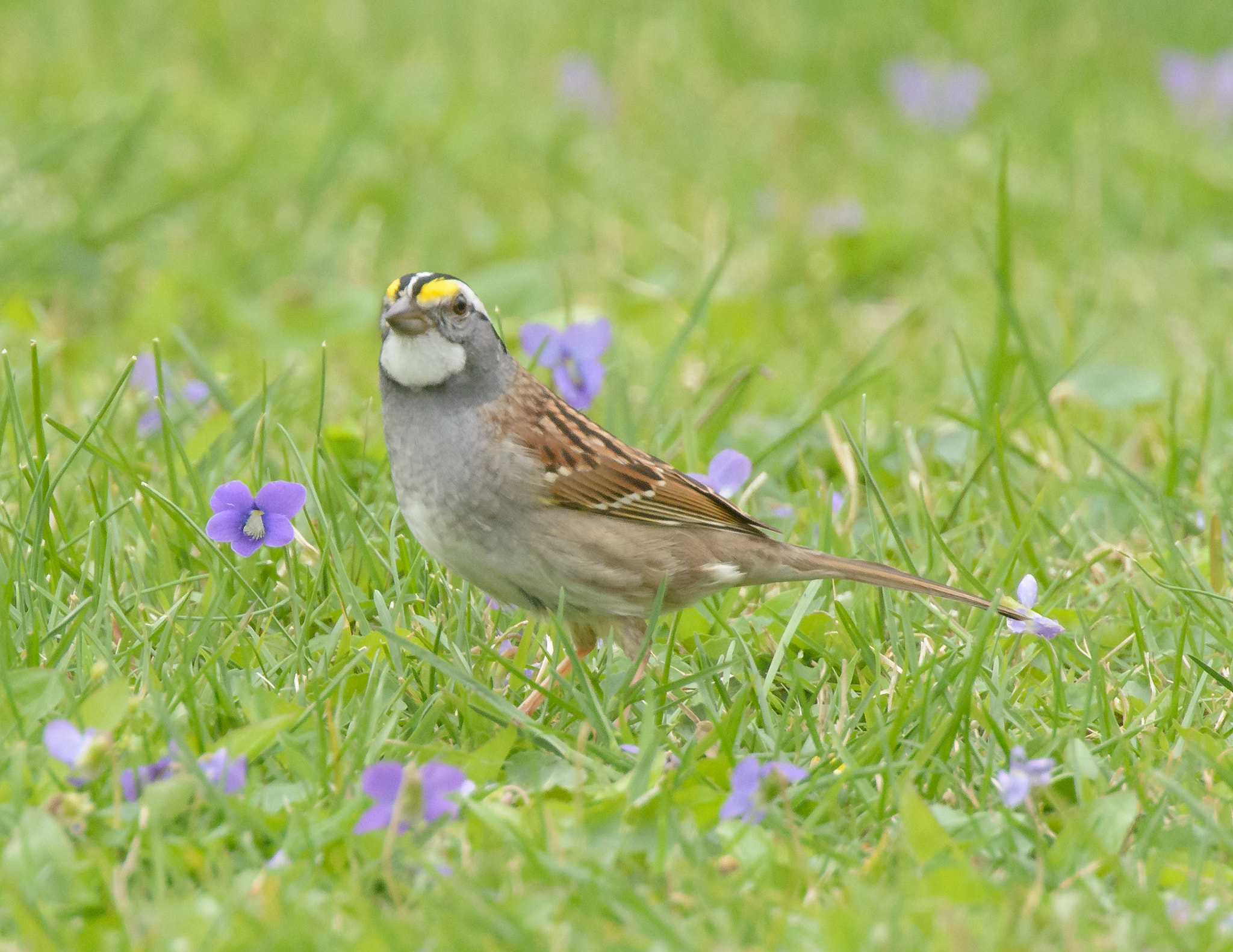 Photograph White Throated Sparrow by Steven Kersting on 500px