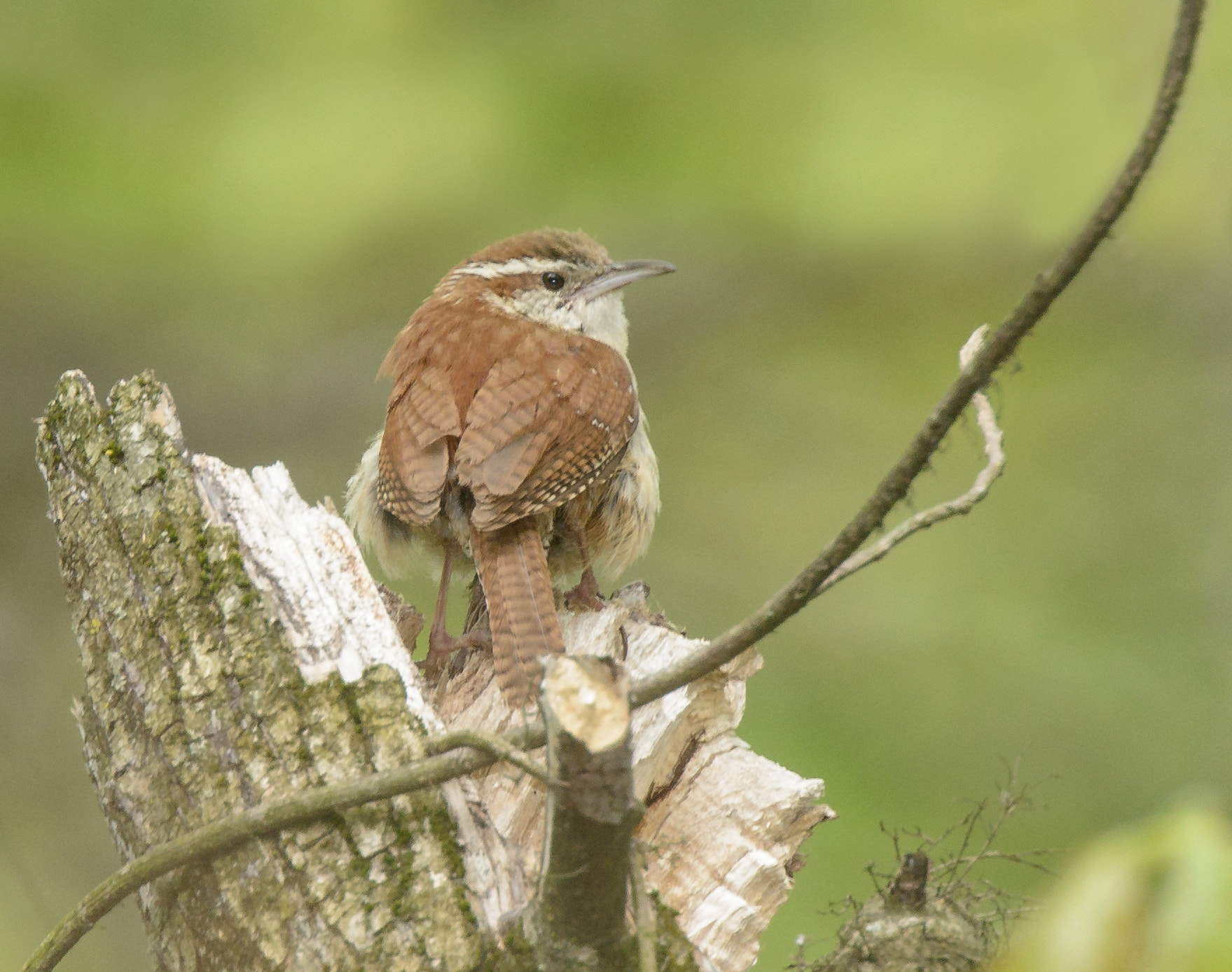 Photograph Carolina Wren by Steven Kersting on 500px