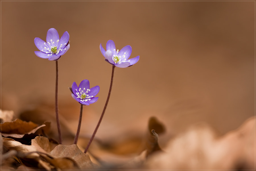 Photograph Hepatica nobilis by Marc Nafzger on 500px