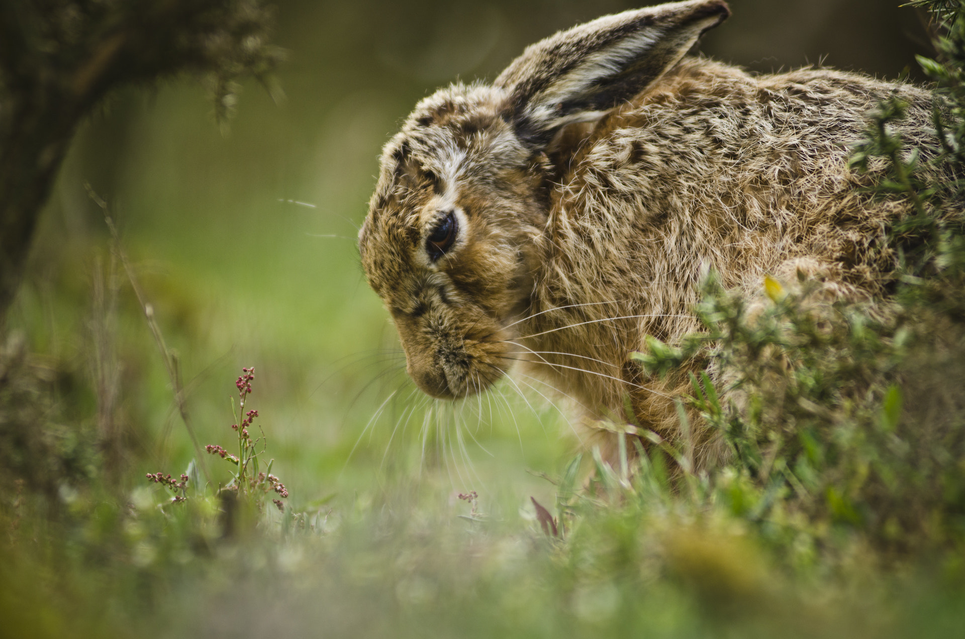 Photograph Dozing brown hare by Luke Millward on 500px