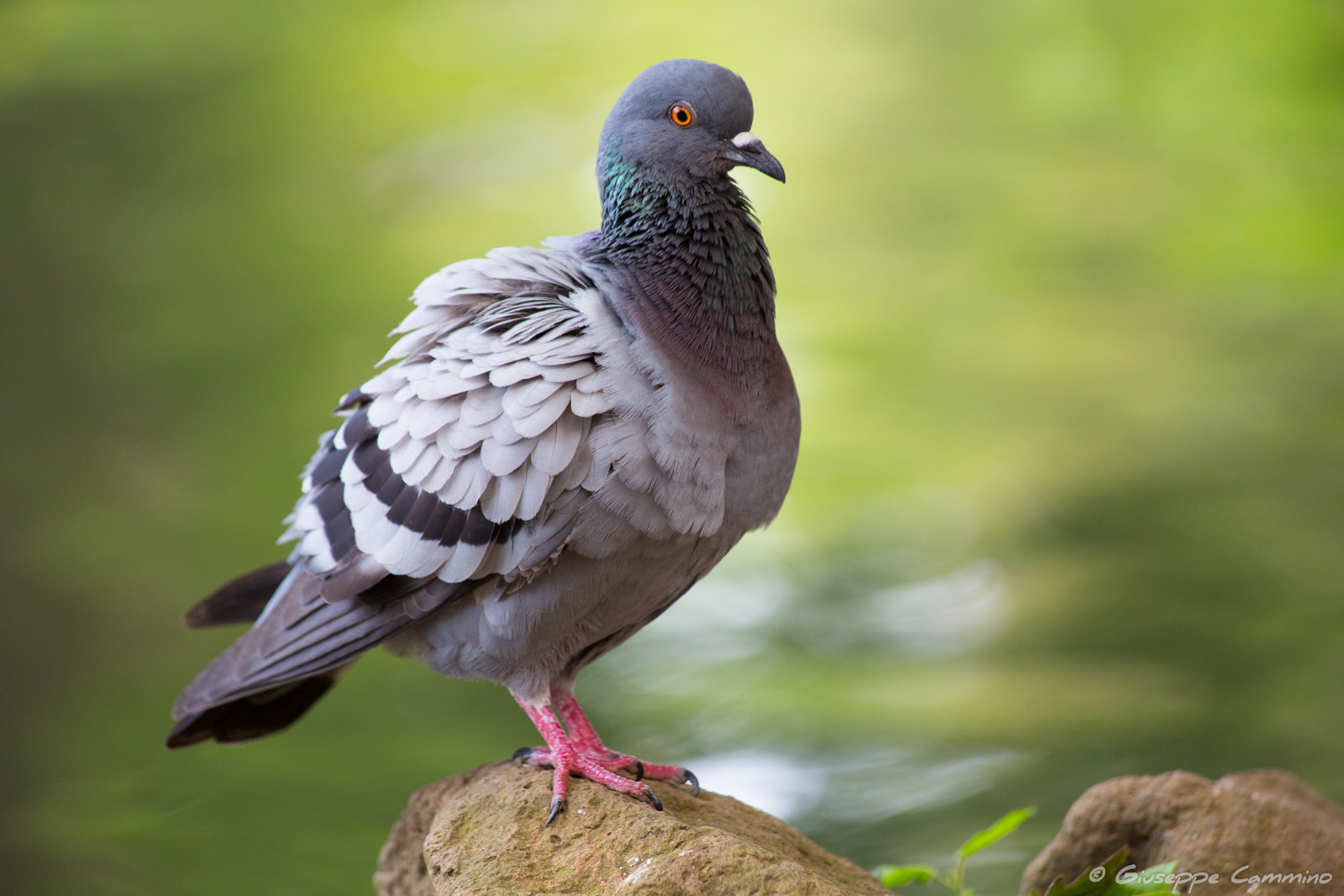 Photograph Villa Borghese - Pigeon by Giuseppe Cammino on 500px