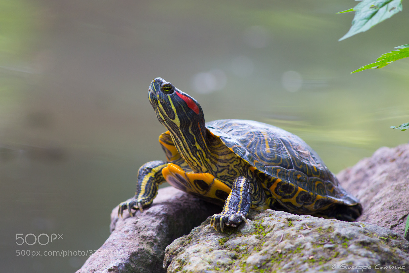 Photograph Villa Borghese - Turtle by Giuseppe Cammino on 500px