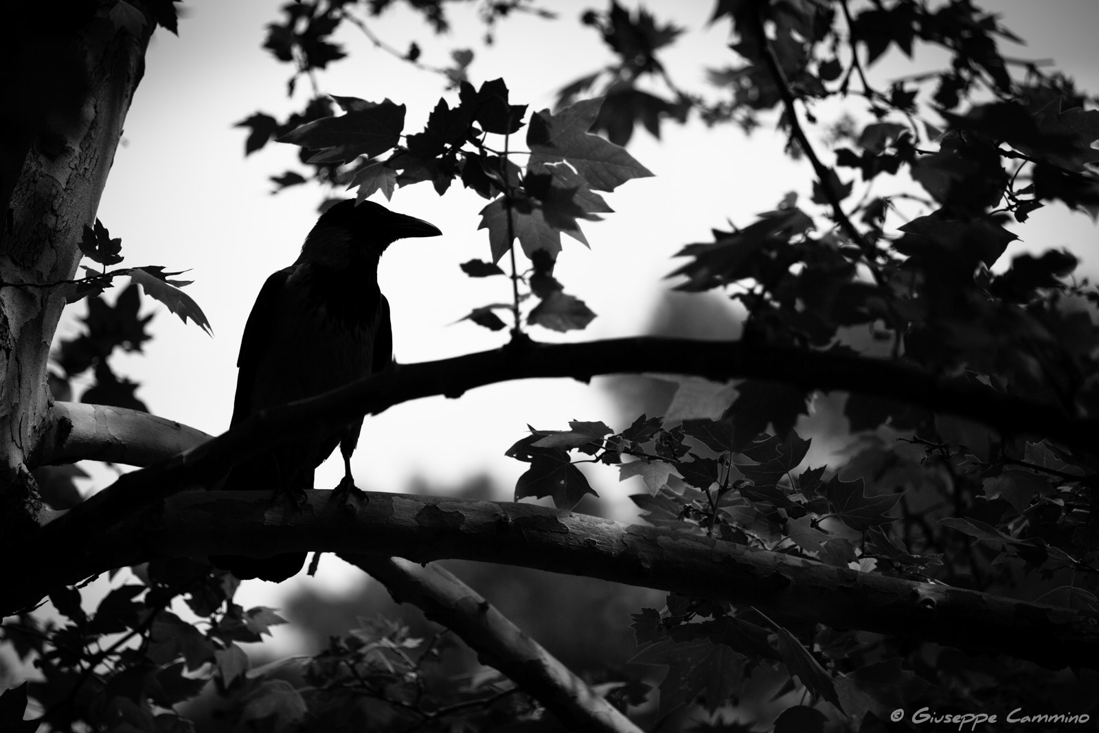 Photograph Villa Borghese - Crow by Giuseppe Cammino on 500px