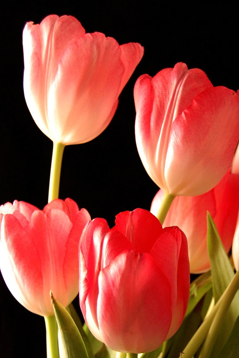 Photograph Tulips by discover on 500px