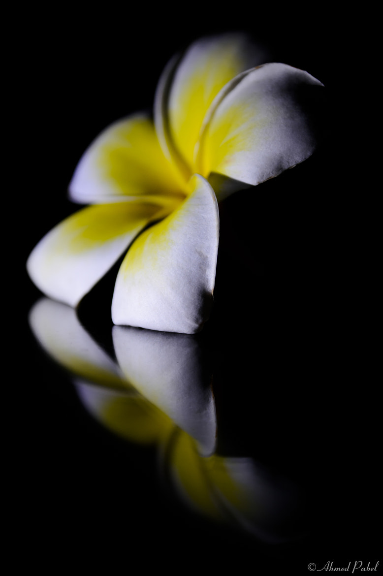 Photograph Plumeria by Ahmed Pabel on 500px
