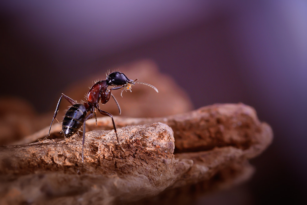 Photograph Desert Ant by Helena Flykt on 500px