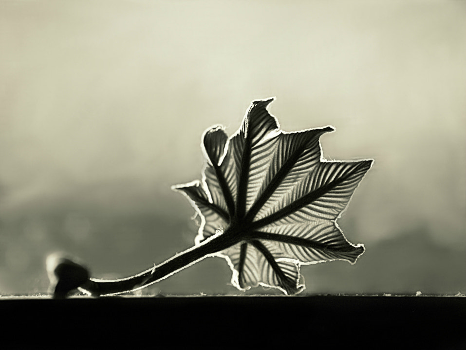 Photograph Leaf with backlighting by Diana  Duque  on 500px