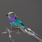 Lilac-breasted Roller, Carraca Lila, South Luangwa National Park, Zambia