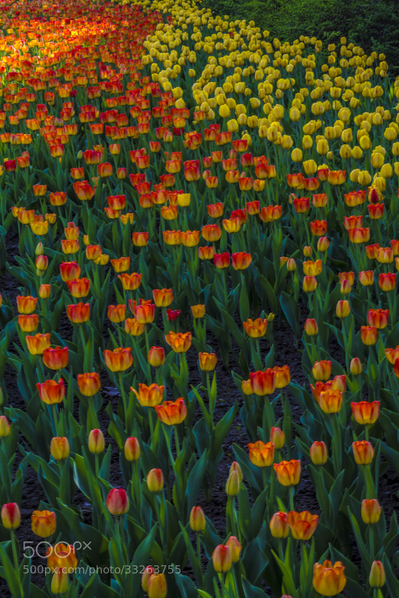 Photograph Rows of Tulips by Daniel Roman on 500px
