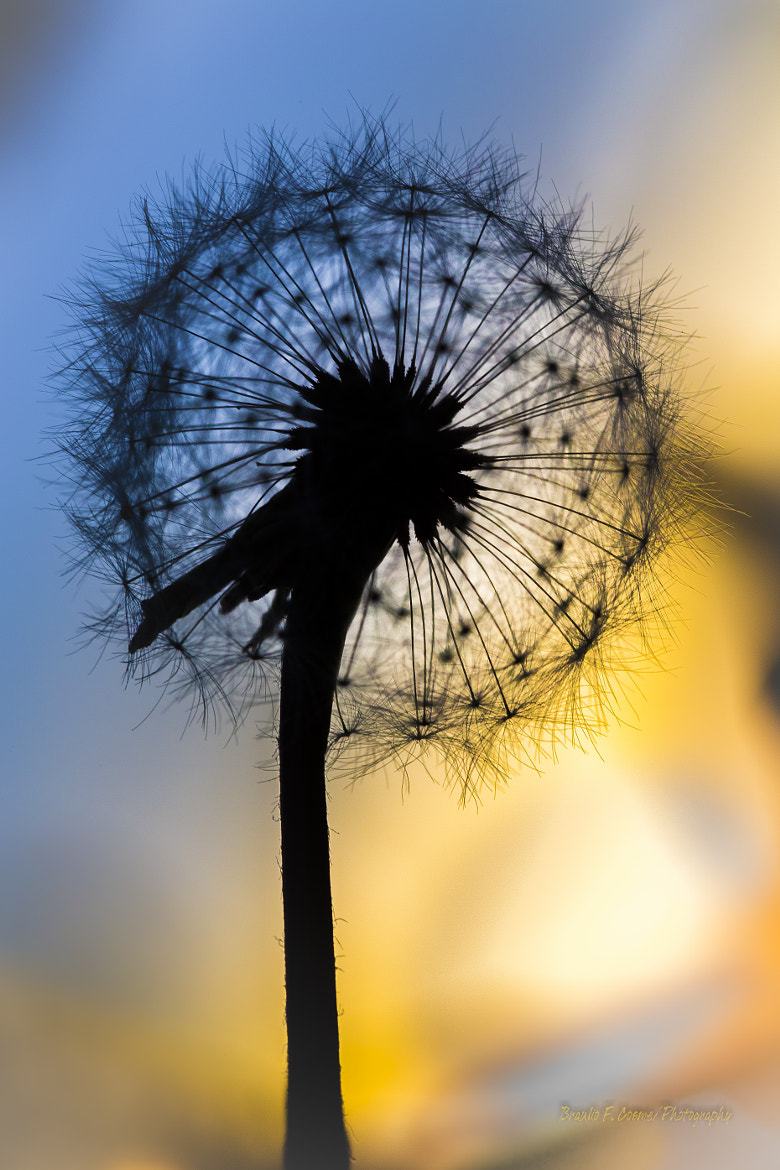 Photograph Dandelion in translucency... by Braulio Cosme on 500px