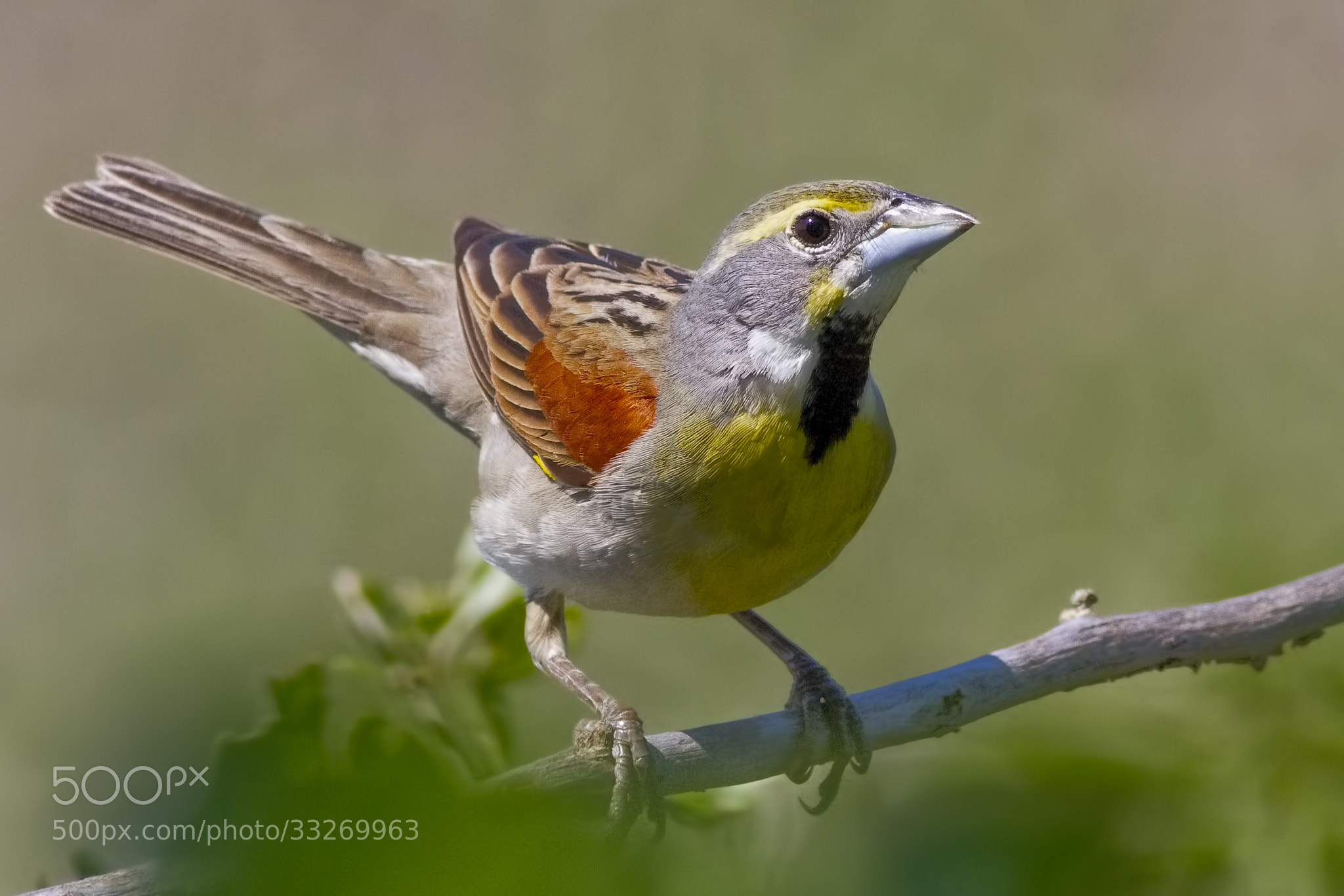 Photograph Dickcissel by Gary Holmes on 500px