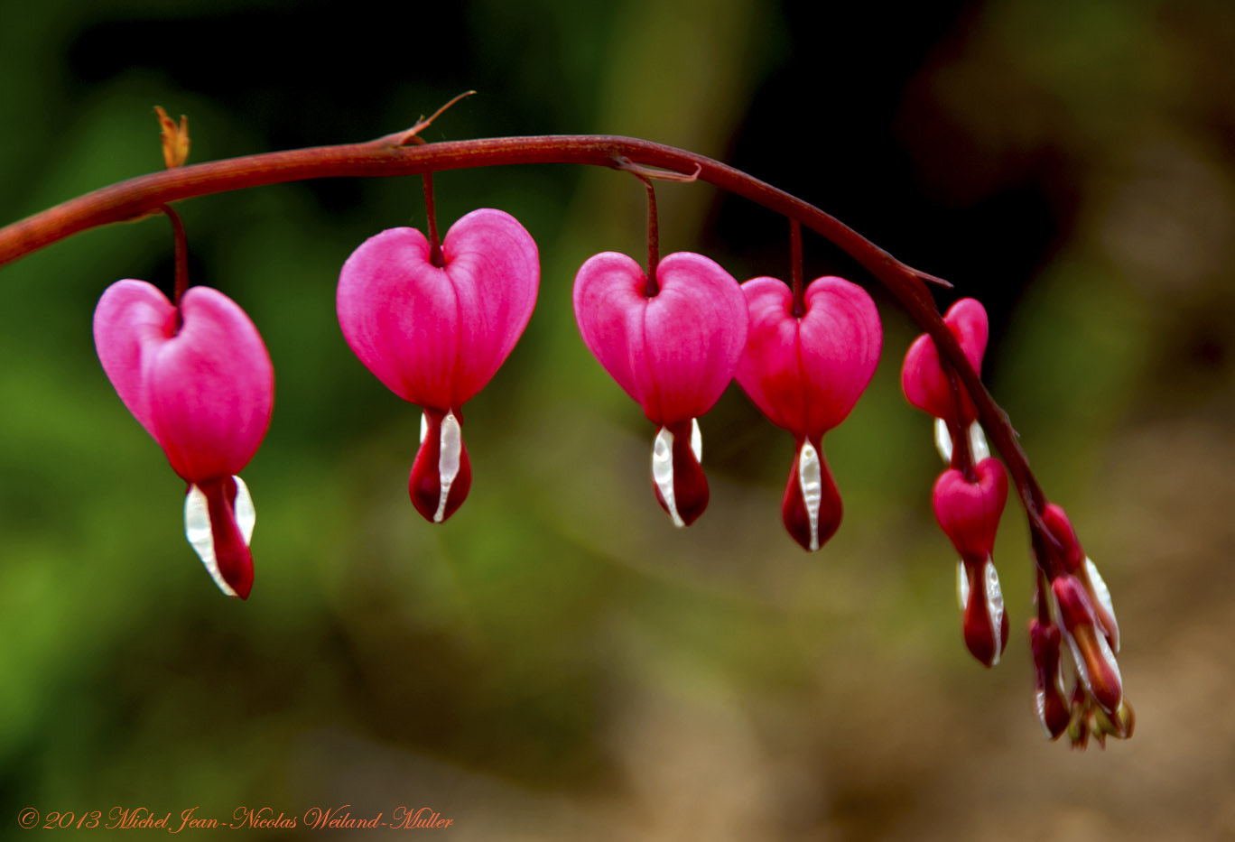 Photograph Coeurs de Marie - Dicentra Spectabilis  by Michel Jean-Nicolas Weiland-Muller on 500px