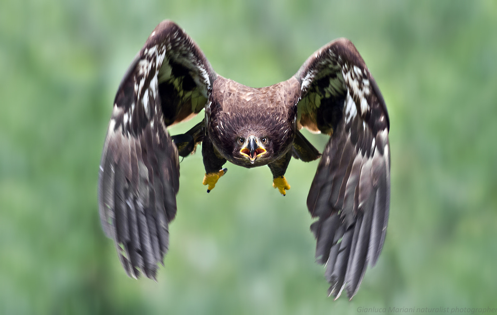 Photograph Eagle by Gianluca Mariani Nature Photographer natura 2.8 on 500px