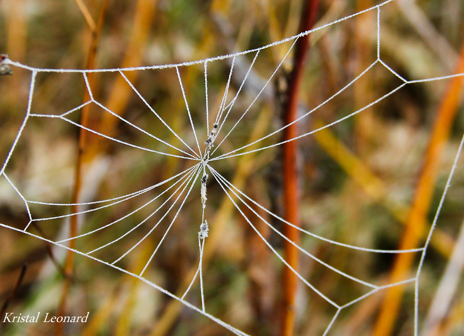 Photograph Frosted Web by Kristal Leonard-Ferrara on 500px