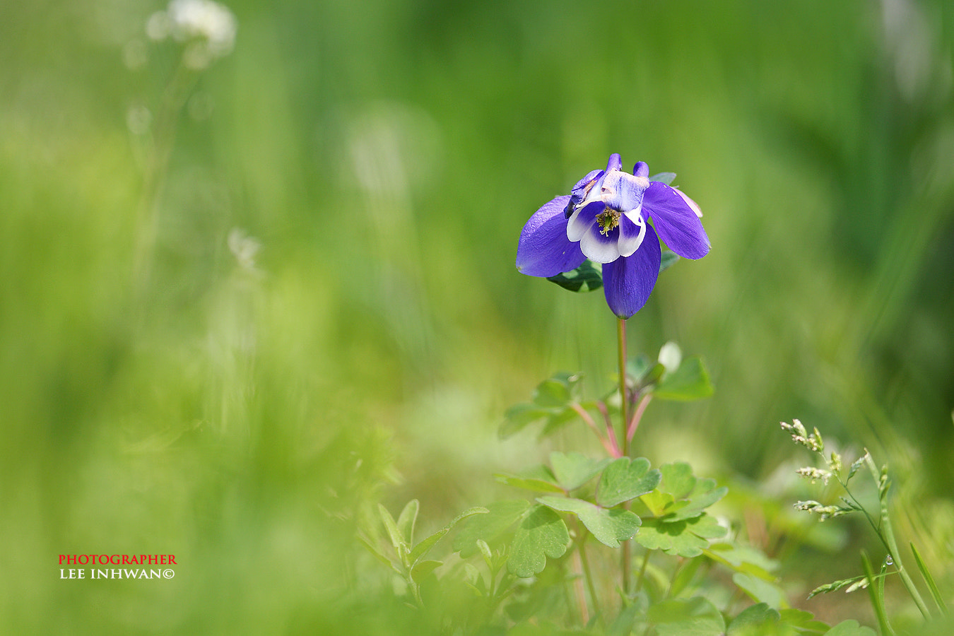 Photograph Lonly columbine by LEE INHWAN on 500px