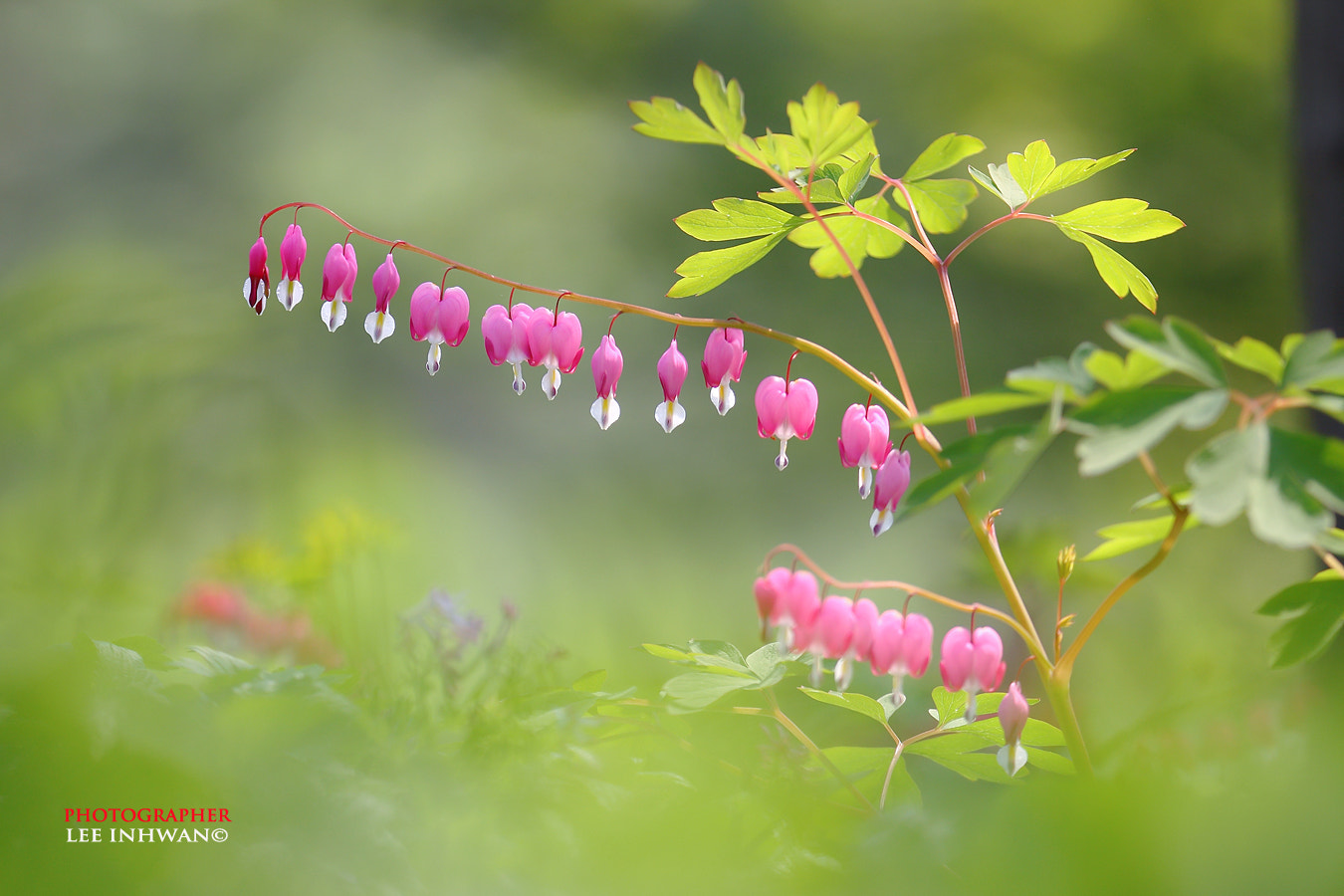 Photograph Misty mood bleeding hearts by LEE INHWAN on 500px