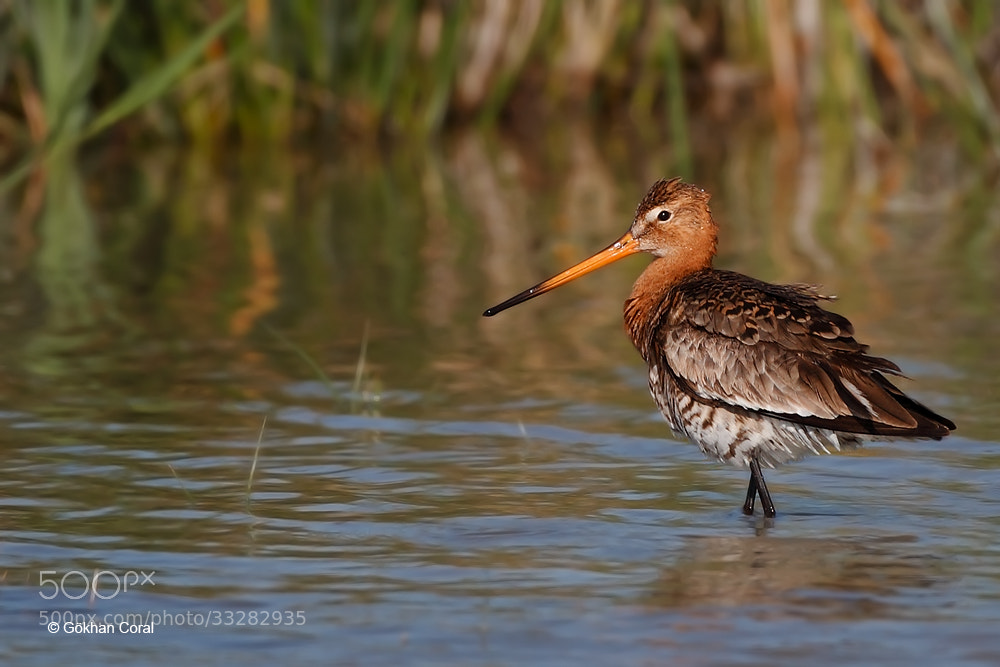 Photograph Black-tailed godwit by Gökhan CORAL on 500px