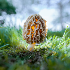 Morchella esculenta by Wojciech Grzanka on 500px.com