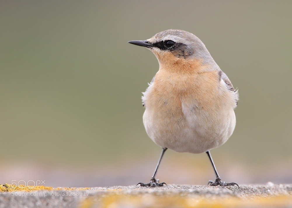Photograph Wheatear by Karen Summers on 500px