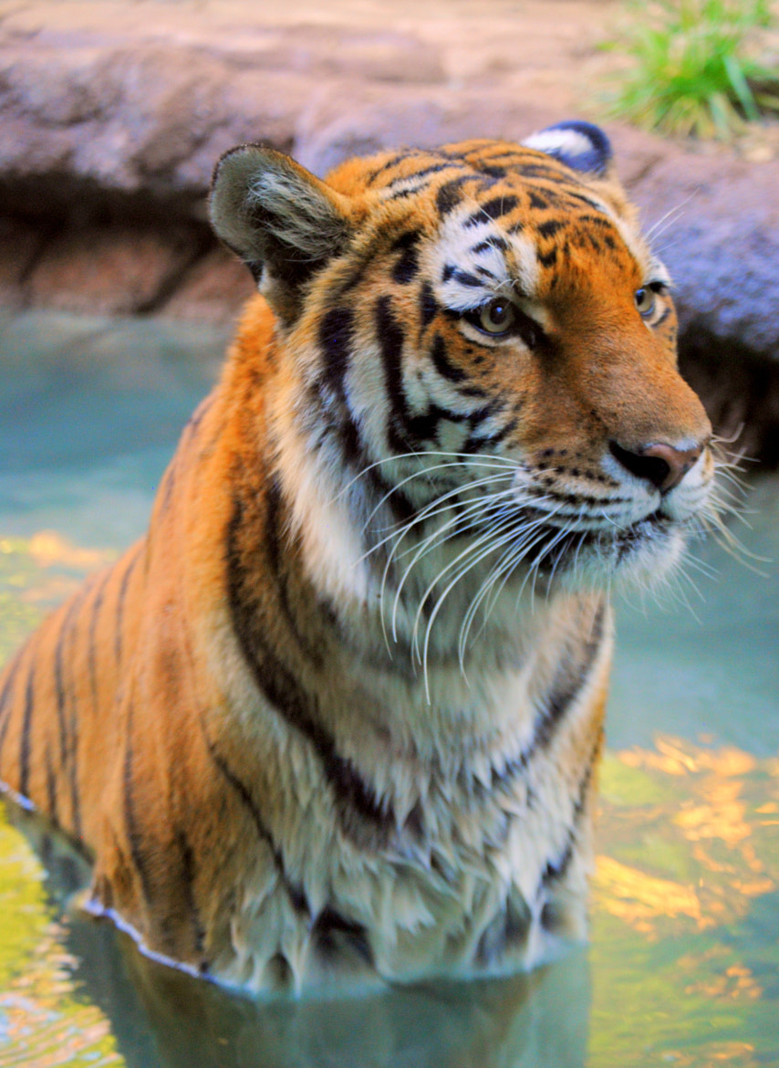 Photograph Tiger  by Nate A on 500px