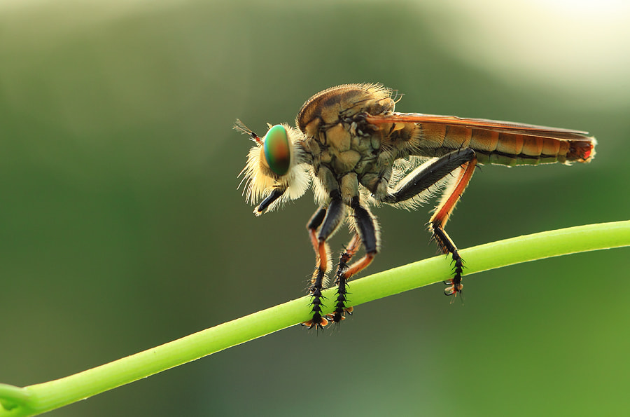 Photograph Robberfly by Said Ikhsan on 500px