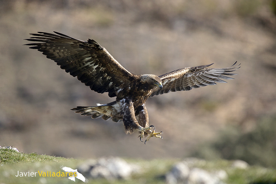Photograph Spanish Golden Eagle by Javier Valladares on 500px