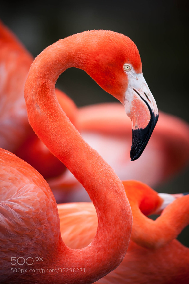 Photograph Flamingo by Justin Lo on 500px