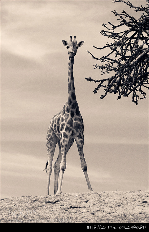Photograph Giraffe by Tiago Estima on 500px